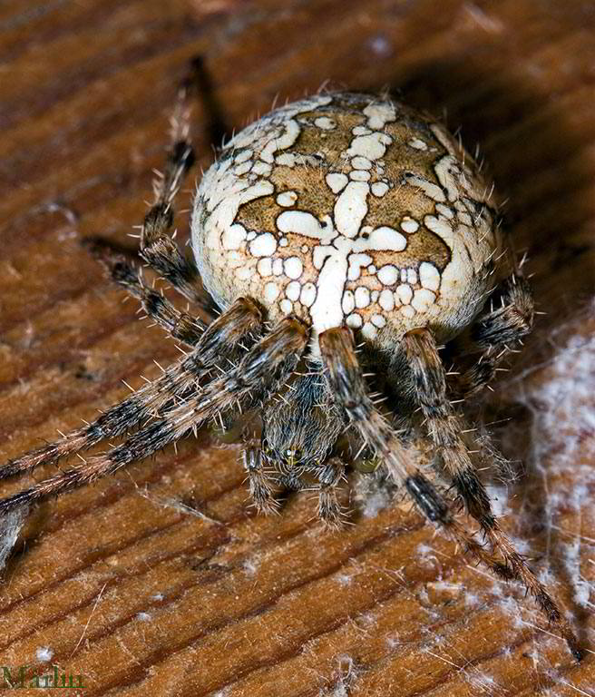 Cross Orbweaver Spider