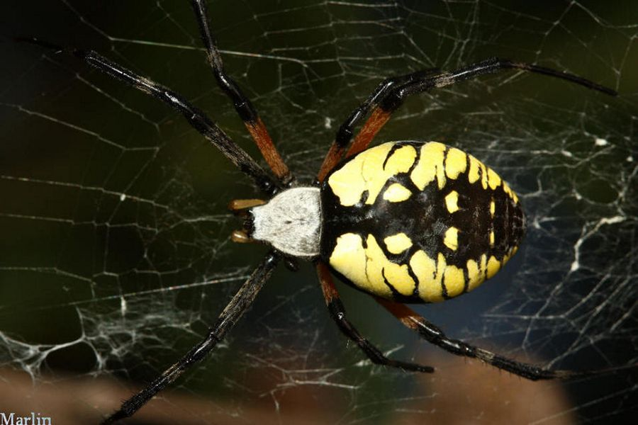 Huge Black and Yellow Spider