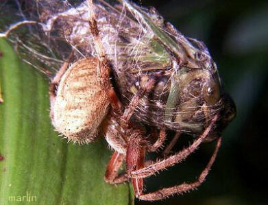 Orb Weaver Catches Cicada