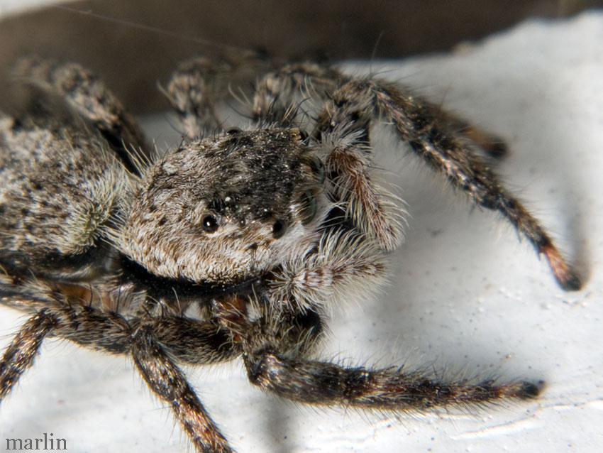 Jumping spider head detail