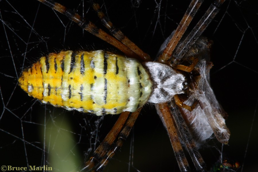 Argiope trifasciata with prey