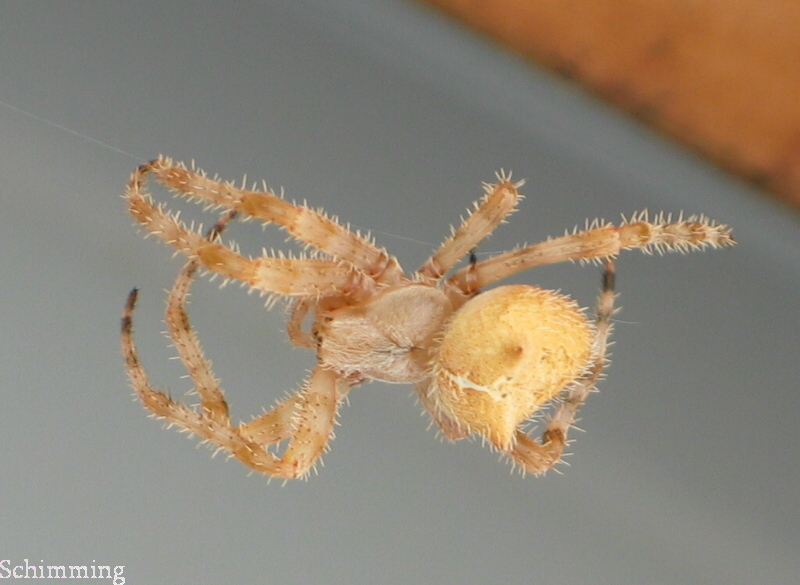 Pictures of Cat Face Spiders http://orlandoariel.girlshopes.com/catfacedspiders/