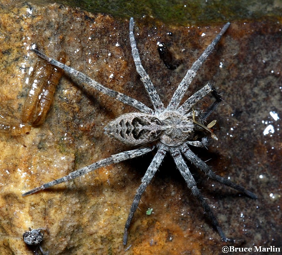 Fishing Spider Dolomedes Sp North American Insects Spiders