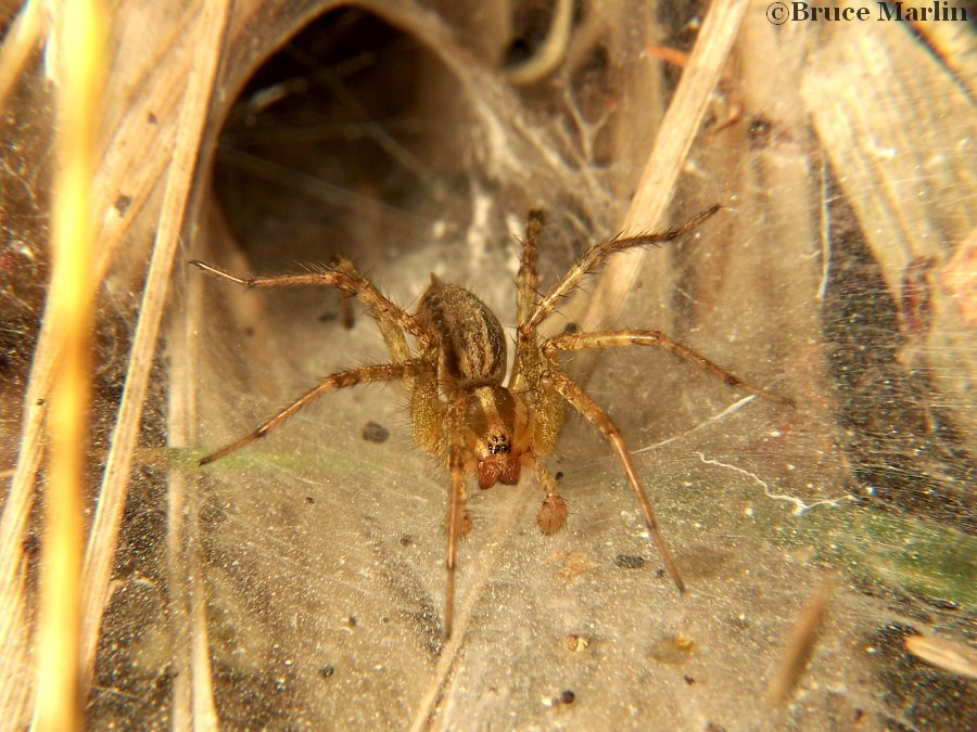 Funnel Weaver Spider - Agelenopsis sp.
