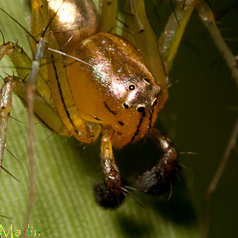 Lynx Spiders have a very distinct eye arrangement