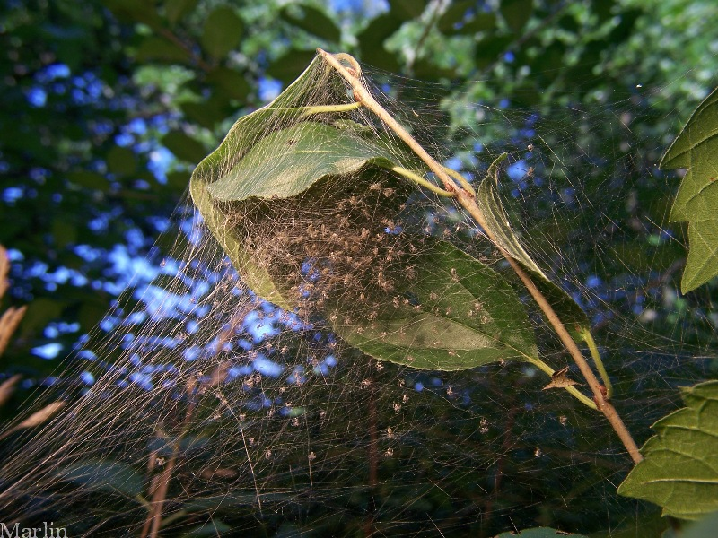 Nursery web filled with hundreds of spiderlings