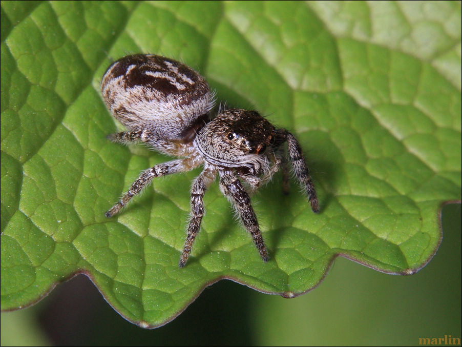 Jumping Spider - Phanias species