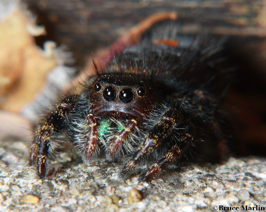 bold jumping spider eyes