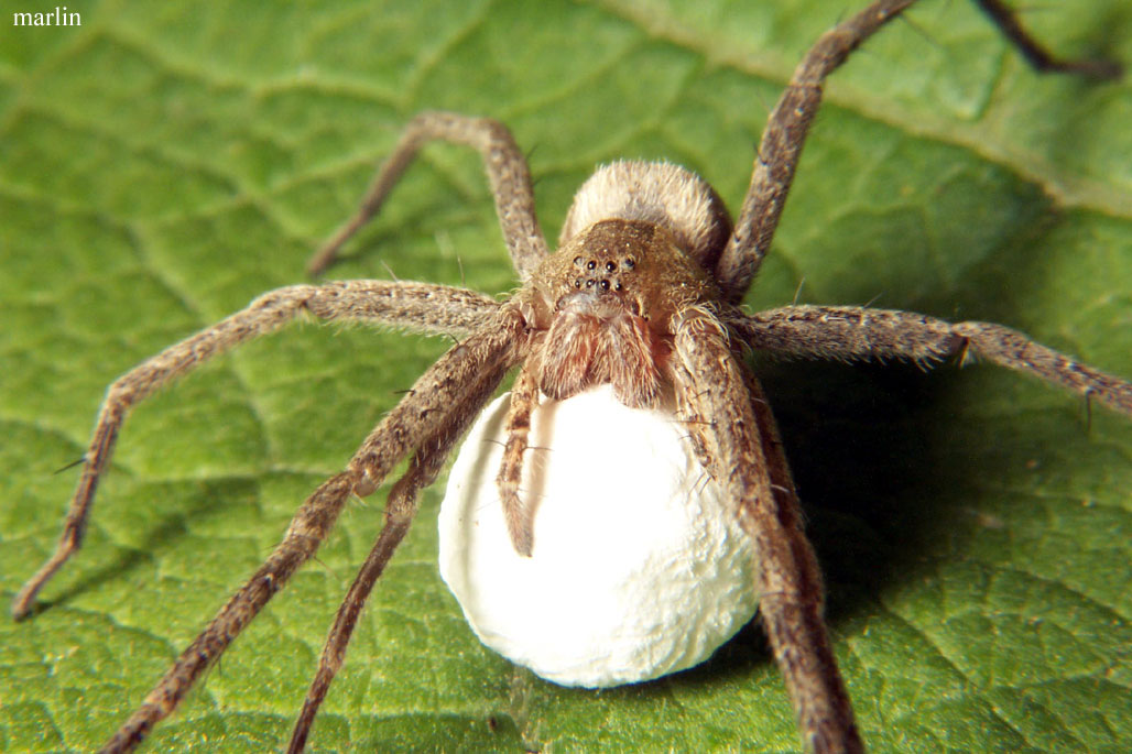 American house spider egg sac - photo#36