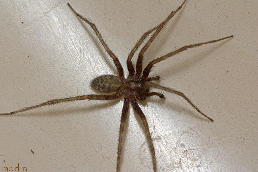 Barn Funnel Weaver Spider - Tegenaria domestica - North ...