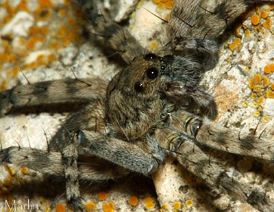 Wolf Spider Eyes Detail