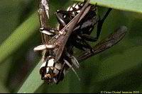 Baldfaced Hornet - Dolichovespula maculata Queen White Hornet
