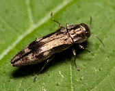 Wood-boring Beetle