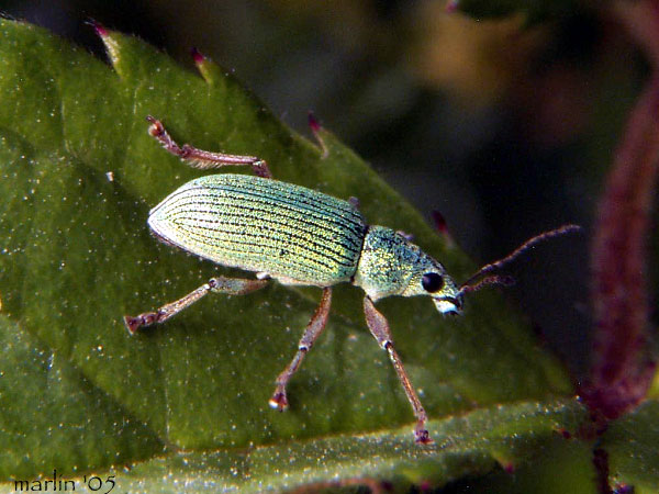 Green Immigrant Leaf Weevil - Polydrusus sericeus