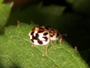 Mildew-eating ladybird