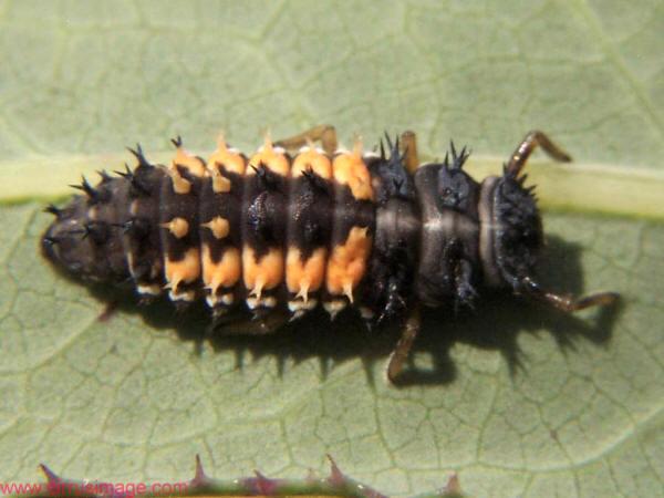 http://www.cirrusimage.com/Beetles/beetle15.jpg