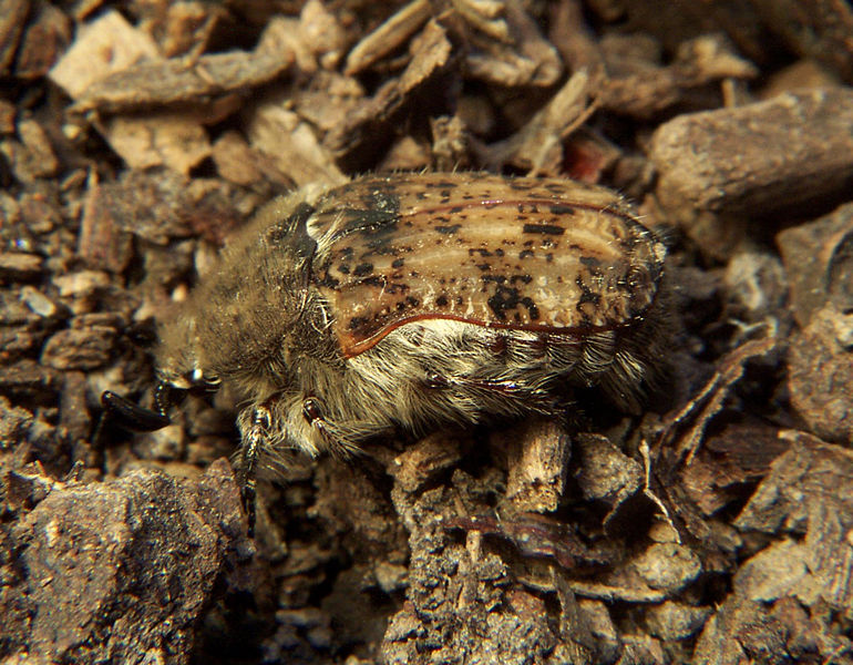 Brown Fruit Chafer