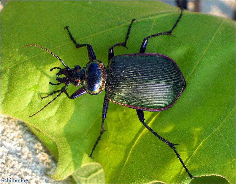 Fiery Searcher Beetle Calosoma Scrutator North