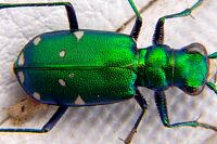 Green Tiger Beetle