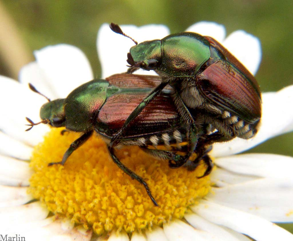 japanese beetle mating picture