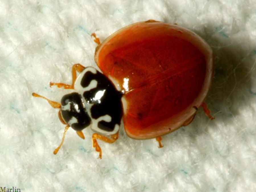 spotless ladybug cycloneda munda north american