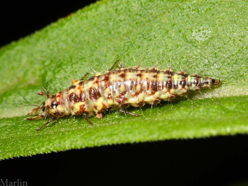 Green Lacewing Larva