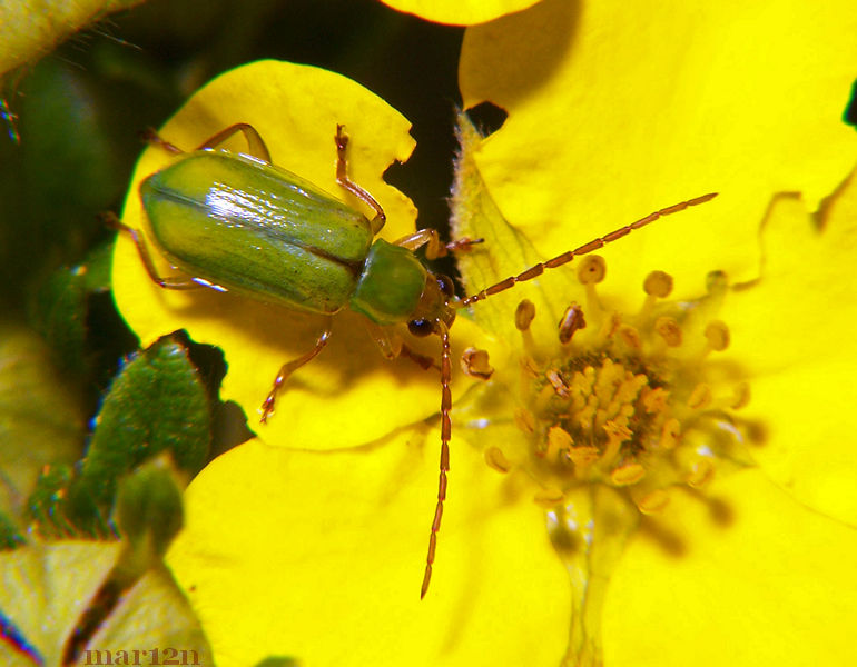 Northern Corn Rootworm Beetle Dorsal