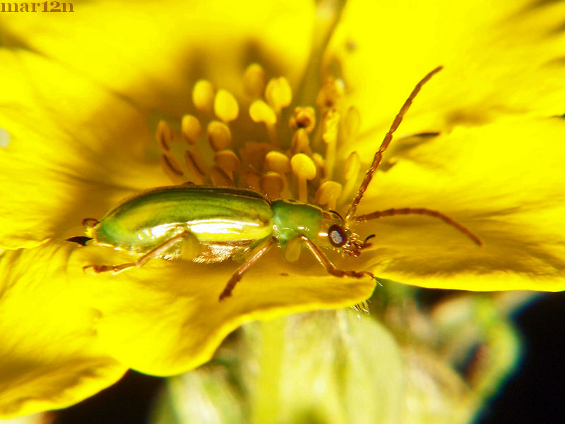 Northern Corn Rootworm Beetle Lateral