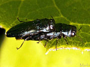 Oak Borer Beetles