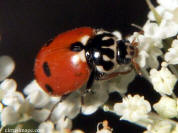 Variegated Lady Beetle
