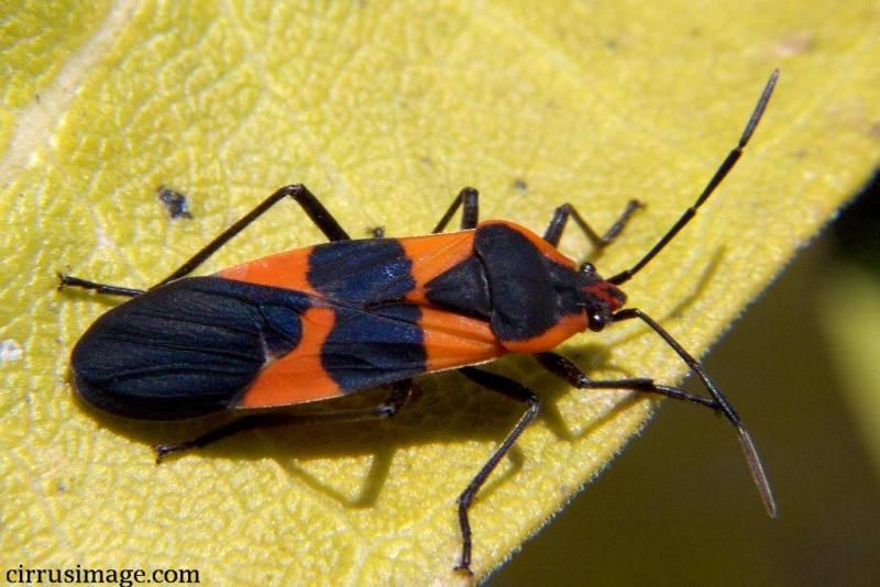 large milkweed bug oncopeltus fasciatus. Black Bedroom Furniture Sets. Home Design Ideas