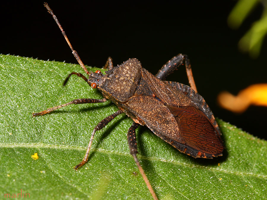 Adult Male Squash Bug
