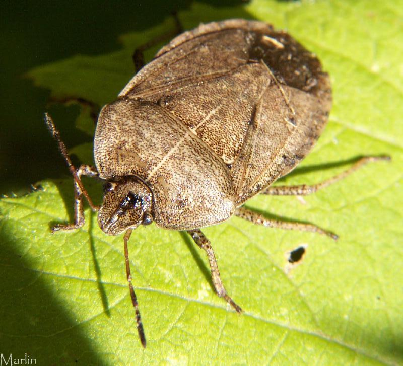how to get rid of brown marmorated stink bug agrcultural