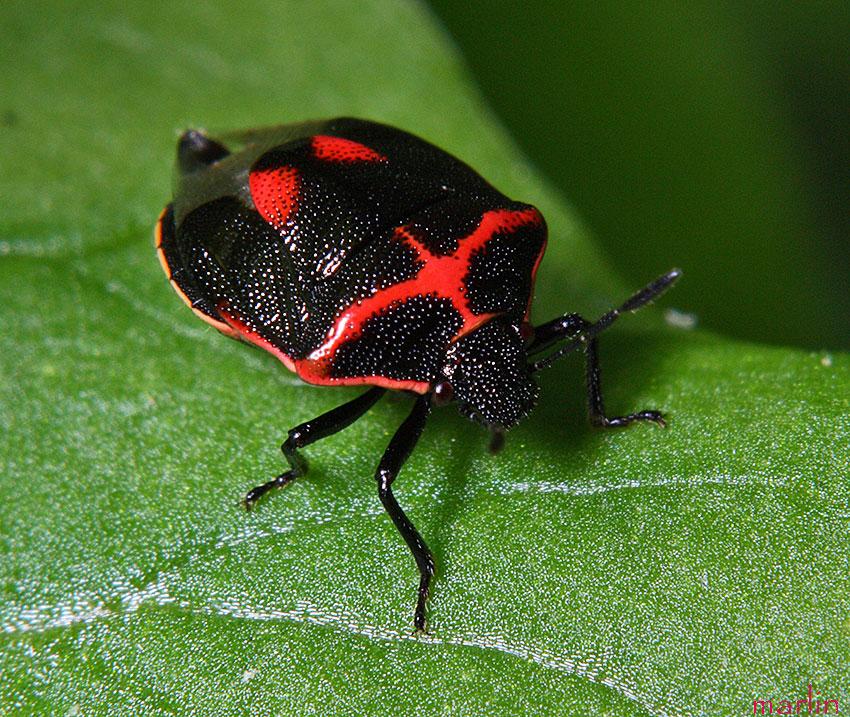 http://www.cirrusimage.com/Bugs/twice-stabbed_stinkbug_3.jpg