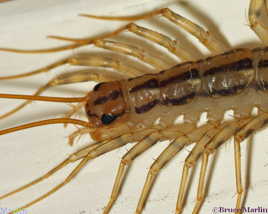 Centipede Head detail