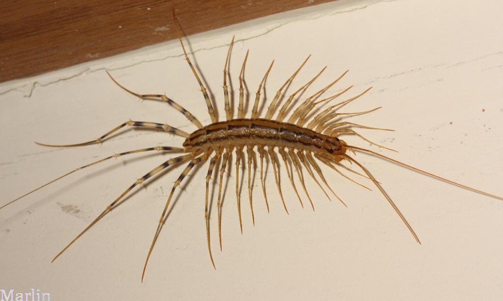 House millipede poisonous