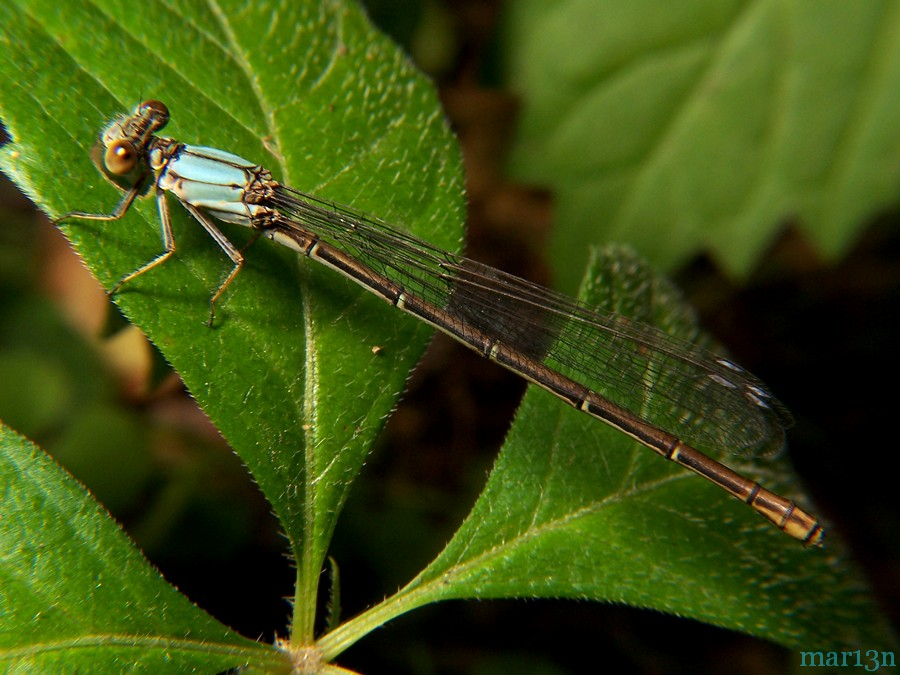life cycle of a damselfly