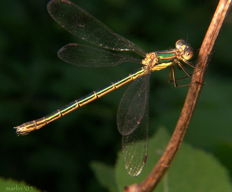 Emerald Spreadwing - Lestes dryas