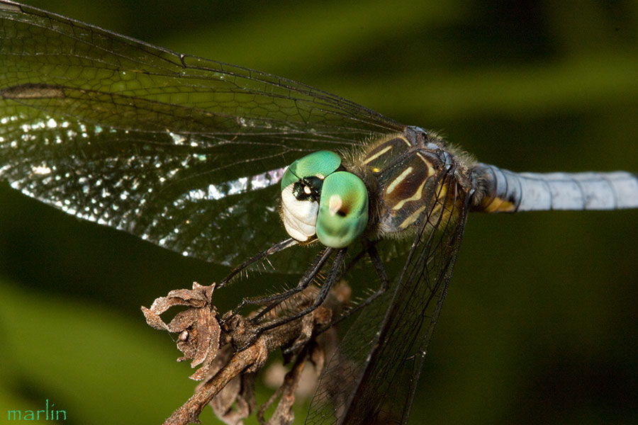 Blue Dasher Dragonfly Male