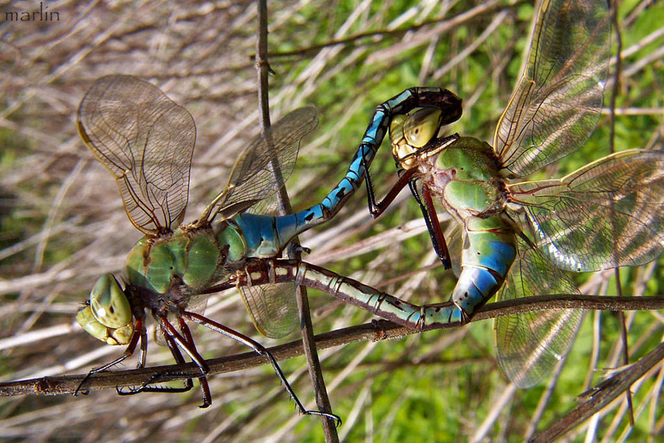Green Darner Mating Wheel