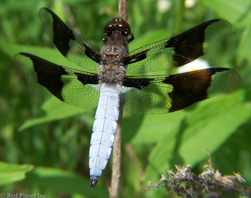 Common Whitetail Dragonfly - Libellula lydia