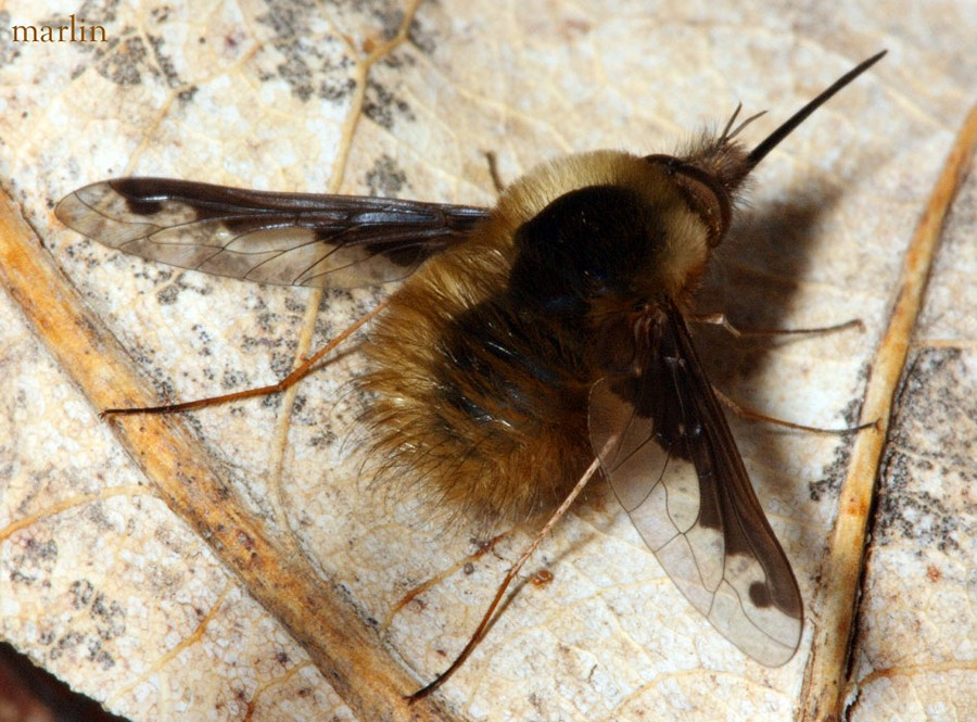 Male bee fly at rest, Bombylius major