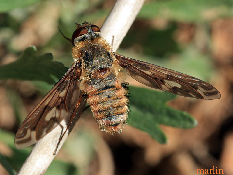 Bee Fly, Poecilanthrax willistonii
