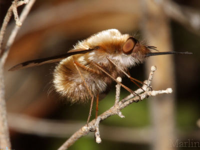 Bombyliidae - Bee Flies