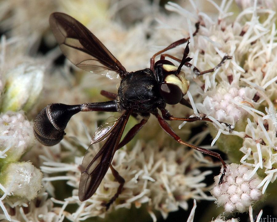 Thick-Headed Fly - Physocephala tibialis