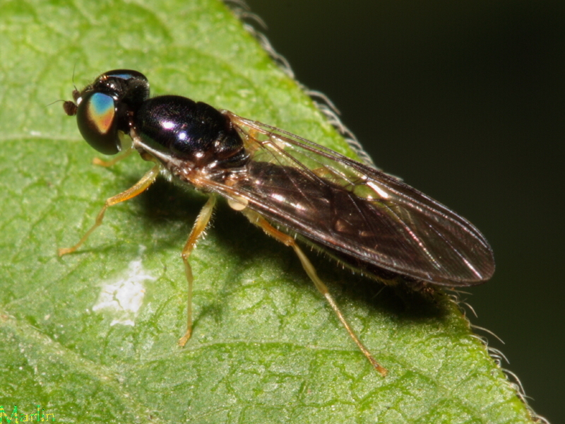 Soldier Fly - Sargus decorus