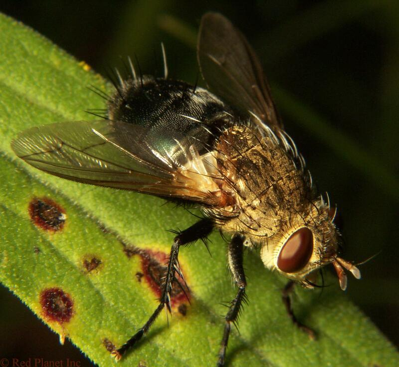 Tachinid Fly - Archytas sp.