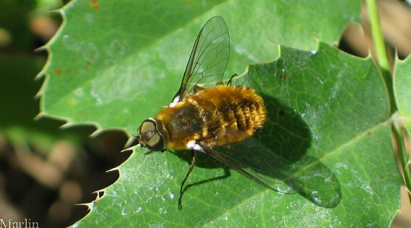 Bee Fly - Villa sp.