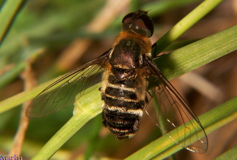 Bee Fly, Villa sp.
