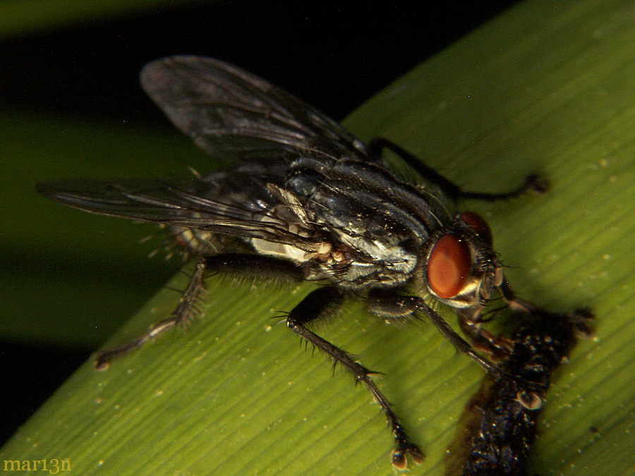 Flesh Fly - Bellieria sp.